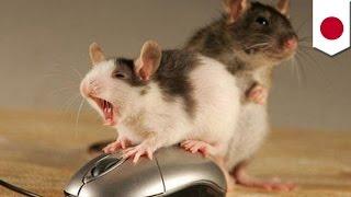 Samce myszy wolą przemoc od seksu - jednak najbardziej lubią narkotyki
