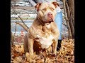 PITBULL AND ENGLISH BULLDOG BEST FRIENDS; DOG LOVER & FOOD LOVERS; MANMADE KENNELS Zombie & Burberry