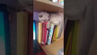 Разница между  шотландским   котиком и девочкой.