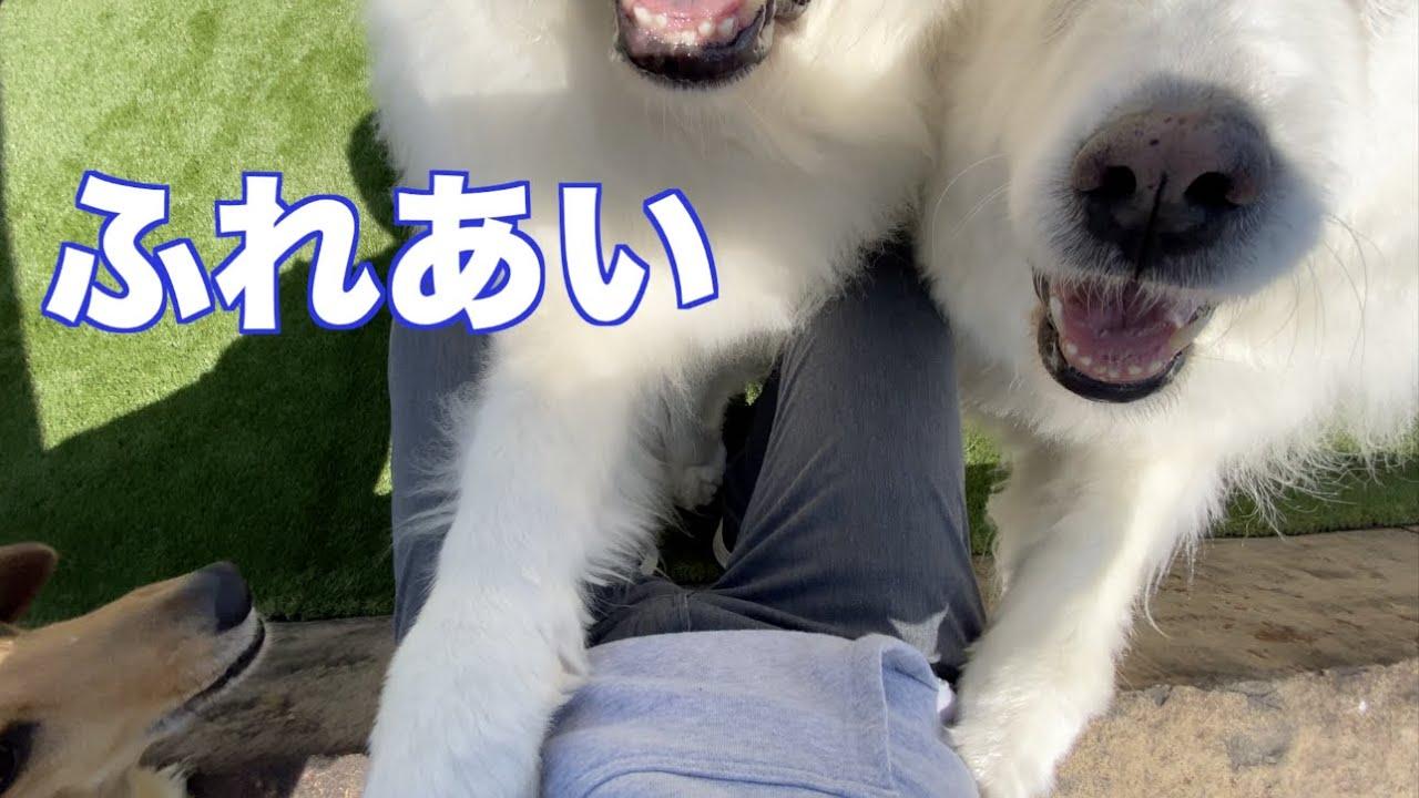愛犬と遊ぶ時には体力が必要!グレートピレニーズ
