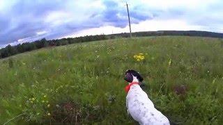 Работа Пойнтера в поле по фазану