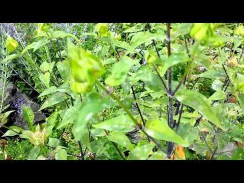 Growing Bee Balm aka Monarda and Bergamont