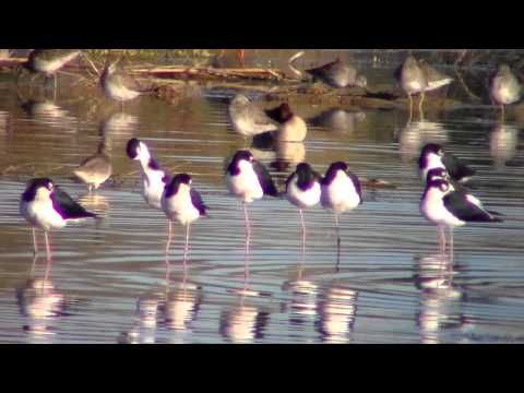 Black-necked Stilts (and Other Shorebirds and Waterfowl)