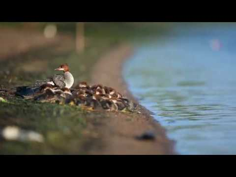 'Super mom' spotted on a Minnesota lake — with 56 ducklings in tow