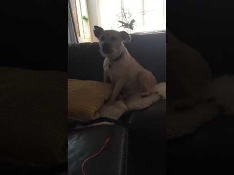 Allan, the singing dog