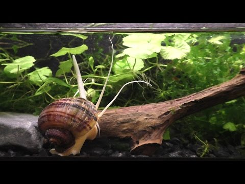 The Strange And Beautiful Mystery Snail