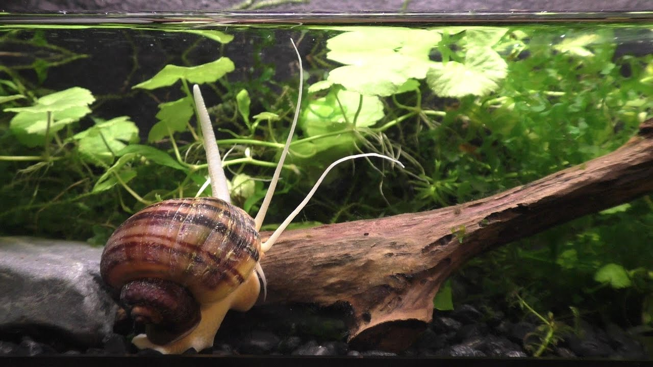 The Strange And Beautiful Mystery Snail - YouTube