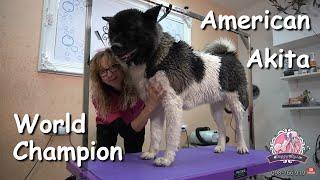 World champion 2021 / American Akita Grooming
