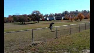German Shorthaired Pointer Jumps Fence