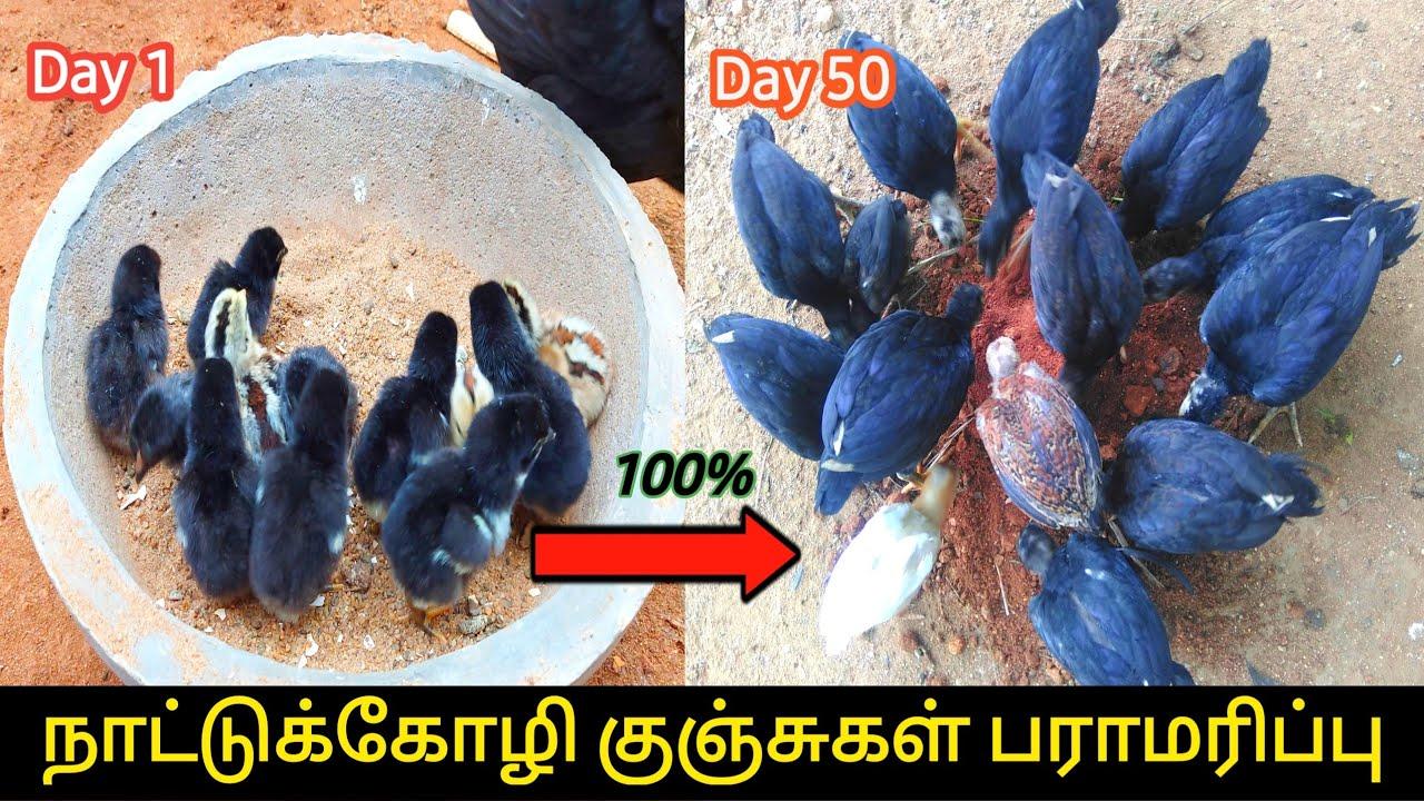 Download இளம்கோழி குஞ்சுகள் பராமரிப்பு | Care of Small Chicks ![Day1-50]