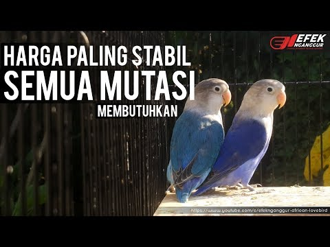 LOVEBIRD BREEDING PAIR ( Cobalt x Violet paling di cari ) ©Efek Nganggur