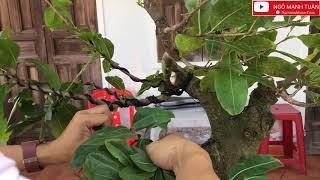 Cách làm mai bonsai chi tiết với những cây có chi cành lớn
