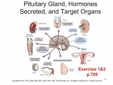 Chapter 16 endocrine system youtube chapter 16 endocrine system ccuart Choice Image