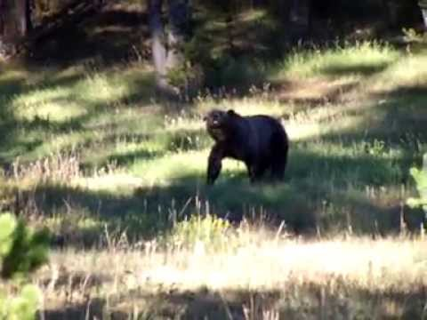 Grizzly Bear Sighting Yellowstone! Part 2 of 4