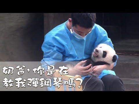 《熊貓早晚安》奶爸,你是在教我彈鋼琴嗎?| IPanda熊貓頻道