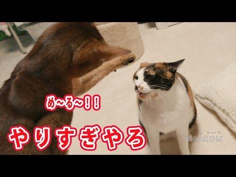 アビシニアンが三毛猫を猫パンチ、いや、猫ジャブで牽制してたらみけがブチ切れた【瀬戸のめる日記】Mi ke got angre when Abisinian Mer tries to punch her