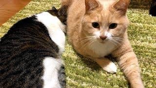 猫日記#保護猫#こむぎ&だいず 【毎日19:00更新】 チャンネル登録もお願...