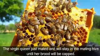 Raising Queen Bees - Apis Donau method