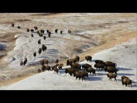 Return of the Yellowstone Bison -- The Tribes
