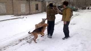 7-мь Человек на одну лису и 4-ри собаки(Охота)