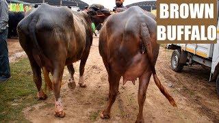 भूरी भैंसों का जोड़ा | Pair of brown buffalo at Kurali Mandi Punjab