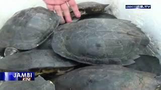 76 Kura kura Jenis Pipi Putih Hasil Sitaan Dilepasliarkan di Perairan Muaro Jambi