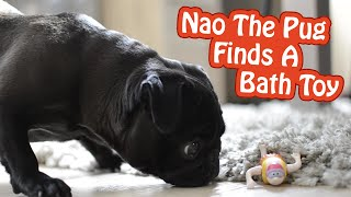 Pug Finds A Swimming Bath Toy On The Floor | Nao The Pug