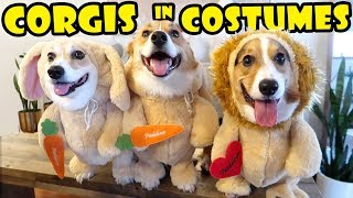 best-funny-corgi-costumes-fashion-show-life-after-college-ep-623