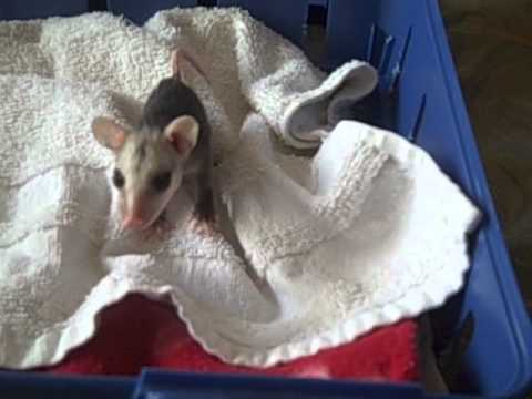 PAWS-SC.com  Hear the sounds that a baby Virginia Opossum makes to call it
