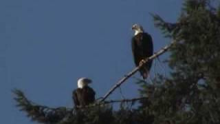 Bald Eagles screeching