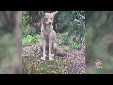 Santa Clara County Sees Uptick In Wildlife Encounters As Weather Warms