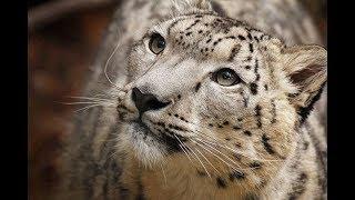 Snow Leopard (Panthera uncia) - Beautiful Big Cat
