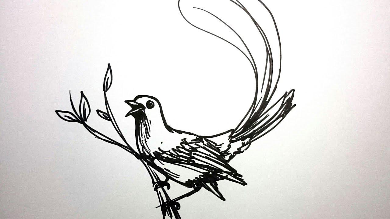 Cara Menggambar Burung Murai Youtube