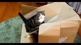 どうしても乗りたいねこ。-Maru wants to get on the box by all means.-