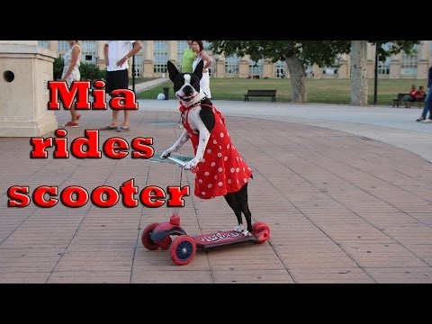 Amazing dog in sexy dress rides the scooter