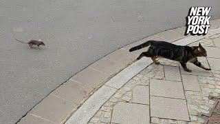 Rat Shows Cat Who's Boss | New York Post