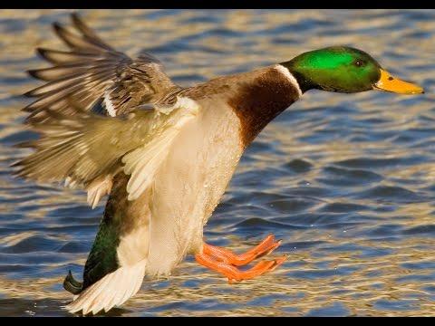 Download Duck Amuck on... sound - GenYoutube.net