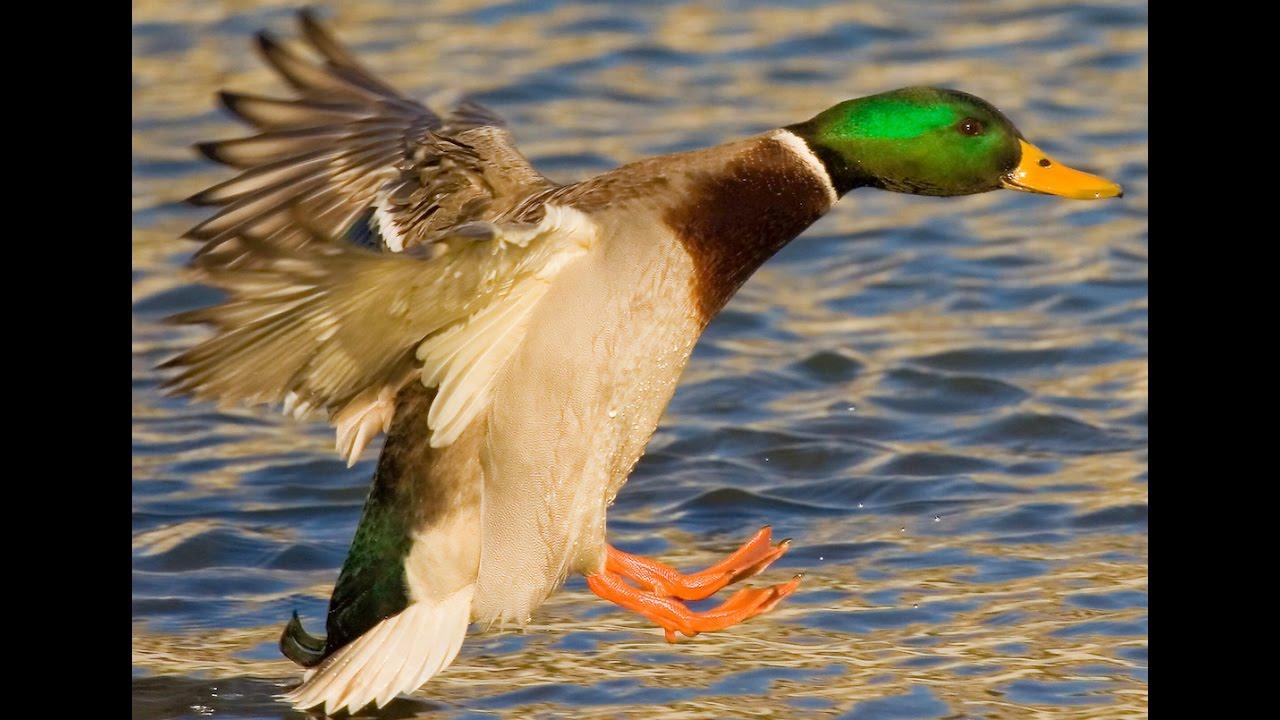 Duck Sounds - Curious ducks talking - YouTube