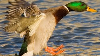 Duck Sounds - Curious ducks talking