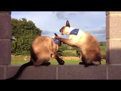 Siamese cats fighting