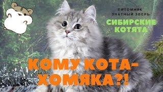 А кому кота-хомяка!? :) Siberian kitten,  name - Paladin Znatniy Zver