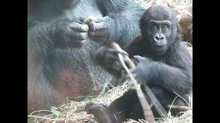 Приколы с обезьянами  Смешные обезьяны  Приколы с животными