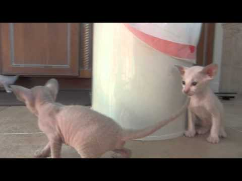 Three 3-Week-Old Peterbald Kittens Playing with their Mother