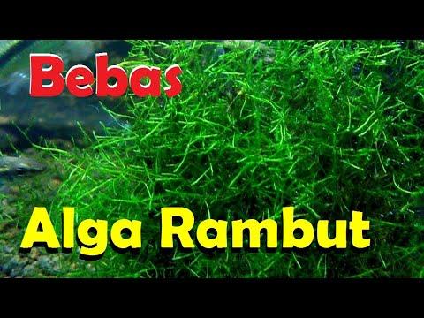 Cara Membuat Aquascape Menjadi Bersih dari Alga (Hair ...