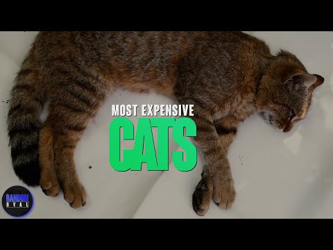 6 Most Expensive CAT BREEDS in The World - PETERBALD |  PERSIAN CAT | Brodie | BENGAL | ASHERA