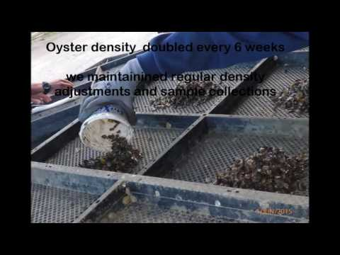How to grow the perfect Sydney Rock Oyster