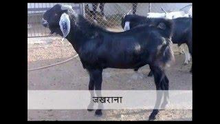 बकरी नस्ल तथा उसकी विशेषता - Goat Breeds in Rajasthan, India