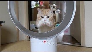 ダイソンリベンジ!猫が輪くぐりできる扇風機  マンチカン/munchkin cat