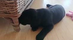 Labradorinnoutajan pentu Luna - Ensimmäinen viikko uudessa kodissa.