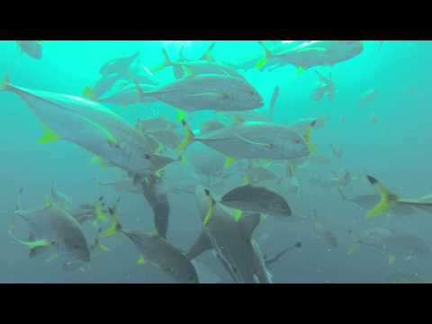 Diving with Oceanic Black Tip Sharks - Umkomaas, South Africa